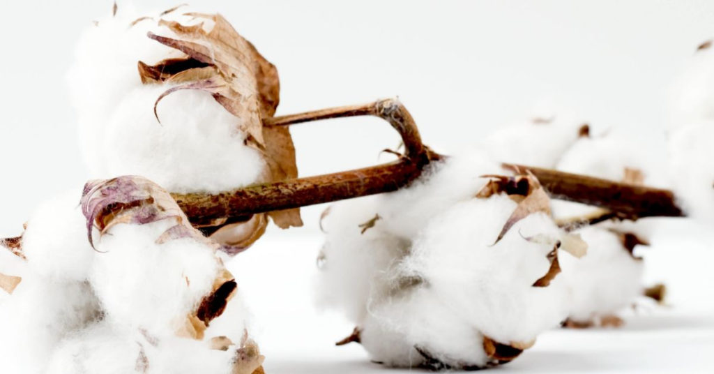 Ethical Brand Directory Blog   How is a white t-shirt made   Cotton plant